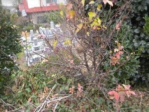 スズメバチの巣が墓地の木の枝に 郡山市、11月下旬.jpg
