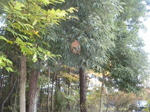 スズメバチの巣が林の入口にある木にぶらさがる 福島市、10 月下旬.jpg