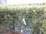 スズメバチの巣が枝葉に隠れています(郡山市、2010年9月上旬).jpg
