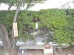 スズメバチの巣が生垣の中に(郡山市、2010年9月上旬).jpg