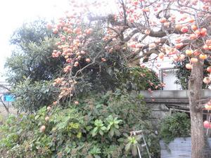 スズメバチの巣が畑のカキの木に 福島市、11月上旬.jpg