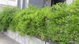 スズメバチの巣が駐車場の生垣に(須賀川市).jpg
