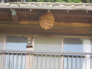 スズメバチの巣はキイロスズメバチの引っ越し巣 福島市、10月中旬.jpg