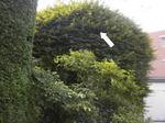 スズメバチの巣はモミジの樹内(福島県西白河郡、2010年9月上旬).jpg