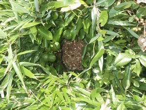 スズメバチの巣は生垣にからみつく雑草に埋没(郡山市).jpg