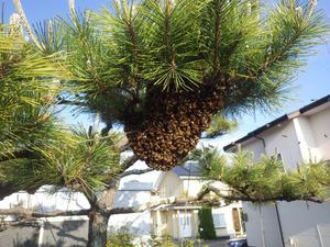 セイヨウミツバチの分蜂群が庭の松の木に作った蜂球(福島県三春町).jpg