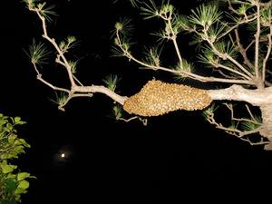 セイヨウミツバチの群れが庭のマツに作った蜂球 福島県田村郡、8月1日