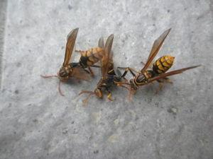 セグロアシナガバチが越冬後、部屋に 2012年、郡山市.jpg