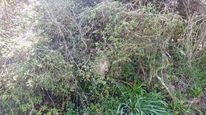 ツツジの木にあった昨年のスズメバチの巣(田村市).jpg