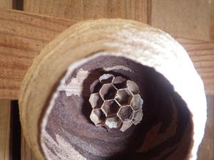 トックリ型になる直前のコガタスズメバチの巣(三春町、2014年5月31日).jpg
