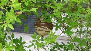 トックリ型の巣がボール状になったばかりのコガタスズメバチの巣(須賀川市).jpg