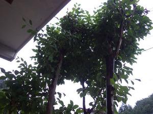 トックリ型の異様な物体があった玄関先の庭木(白河市).jpg