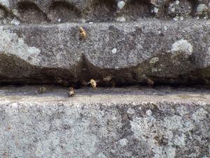 ニホンミツバチが出入りするお墓の隙間 須賀川市、4月18日
