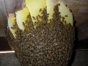 ニホンミツバチたちが巣に群がっている様子 福島、4月30日