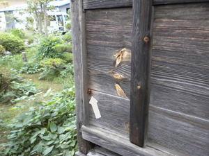 ニホンミツバチの巣がある倉庫に入ろうとするオオスズメバチ(福島市、2010年9月下旬).jpg