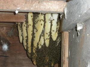 ニホンミツバチの巣が倉庫の中に(福島市、2010年9月下旬).jpg