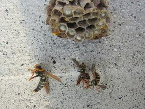 フタモンアシナガバチの巣、女王蜂、働き蜂たち 福島県田村郡、2012年.jpg