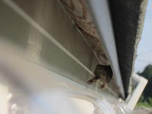 フタモンアシナガバチの巣が軒先に 福島県田村郡、2012年.jpg