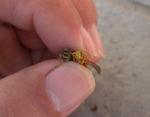 フタモンアシナガバチの新女王蜂と雄蜂の顔を比較(郡山市、2010年9月上旬).jpg
