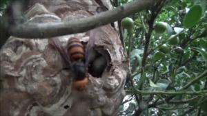 三春町でオオスズメバチがスズメバチを巣を襲う.png