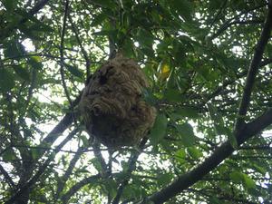 三春町でサクラのスズメバチの巣.jpg