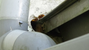 三春町でスズメバチの巣に出入りするスズメバチ.jpg