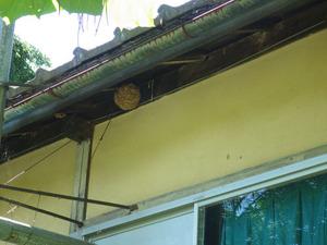 三春町でスズメバチの引っ越し巣.jpg