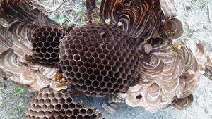 三春町でスズメバチの引っ越し巣内部.jpg