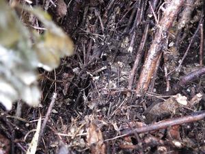 三春町でスズメバチの母巣.jpg