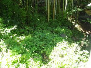 三春町でスズメバチの母巣があった草薮.jpg