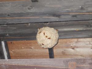 三春町で公衆トイレのスズメバチの巣.jpg