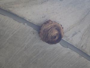 三春町で再生されたスズメバチの巣.jpg