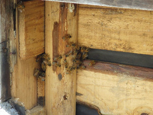 三春町で外壁からミツバチが出入り.jpg