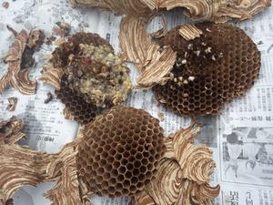 三春町で落ちていたスズメバチの巣.jpg
