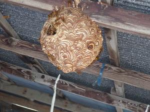 三春町で軒下のスズメバチの巣.jpg