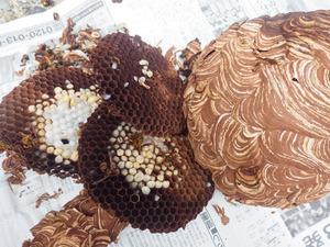 三春町で駆除したスズメバチの巣.jpg