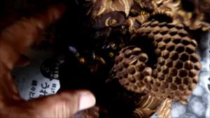 三春町で駆除したスズメバチの巣.png