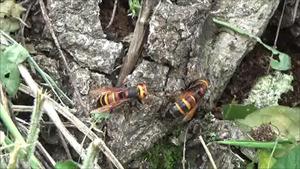 三春町で駆除したヒメスズメバチ..jpg