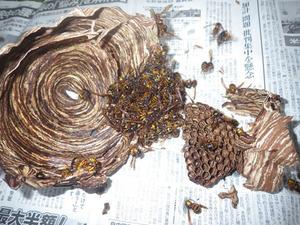 三春町で駆除した再生スズメバチの巣.jpg