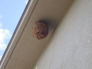 三春町営アパートの軒下にあるキイロスズメバチの引っ越し巣(福島県三春町).jpg