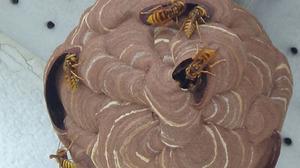 二本松市でスズメバチの巣-引っ越し巣.jpg
