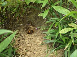 二本松市でスズメバチの巣への出入り口.jpg