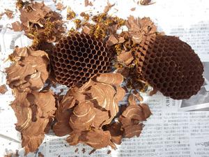 二本松市で駆除したスズメバチの巣-引っ越し巣.jpg