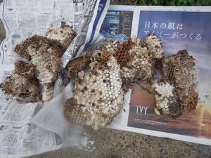 二本松市で駆除したスズメバチの巣.jpg