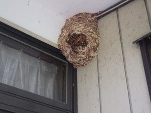 伊達市で出入り口の軒下のスズメバチの巣.jpg