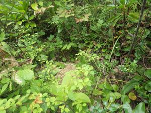 会津坂下町でオオスズメバチの巣がある特徴.jpg