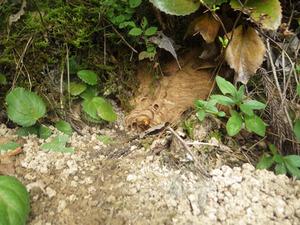 会津坂下町でオオスズメバチの巣への出入り口.jpg