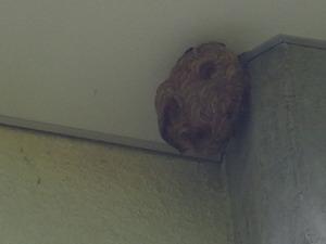 会津坂下町で体育館の高所のスズメバチの巣.jpg