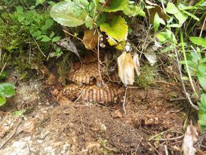 会津坂下町で土中のオオスズメバチの巣.jpg