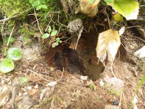 会津坂下町で巣撤去後のオオスズメバチの巣跡.jpg